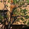 Tagliare albero di fico