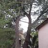 Abbattimento di due alberi, con l'ausilio di cestello