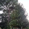Abbattimento pino e magnolia