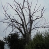 Abbattimento albero secco e pericoloso