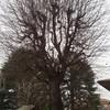 Potare due alberi di circa 8 metri