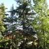 Potatura pino piantato 25 anni fa