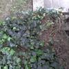 Eliminare edera in giardino