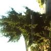 Potatura pino a villorba