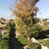 Potatura eucaliptus