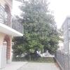 Potatura magnolia a Rivalta di Torino