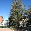 Potatura di due magnolie con uso del cestello