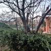 Potare albero di fichi