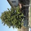 Potatura magnolie