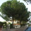 Abbattere due pini alti circa 10 m