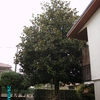 Potatura albero (magnolia) (messa in sicurezza)