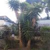 Abbattimento n4 piante di yucca