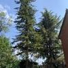 Potare O Tagliare pini