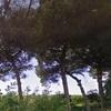 Potatura alberi di pino