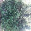 Sfoltimento e arrotondamento alberi